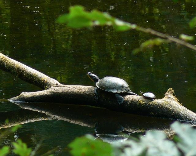 synchronized turtling.jpg